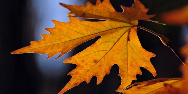 çınar yaprağı kürü